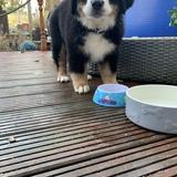 Max (Bernese Mountain Dog)