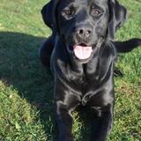 Hope (Labrador Retriever)