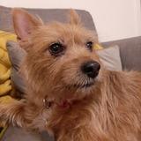 Millie (Norwich Terrier)
