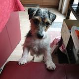 Elli (Parson Russell Terrier)