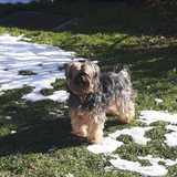Lupita (Yorkshire Terrier)