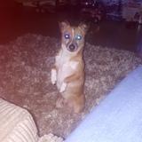 Benji (Brazilian Terrier)