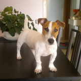 Bup - Jack Russell Terrier