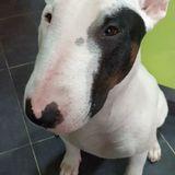 Le Bron (Bull Terrier)