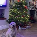 Pippin (Irish Soft Coated Wheaten Terrier)
