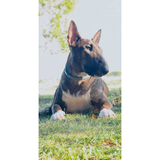 Iron (Bull Terrier)