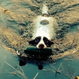 Lilly (English Springer Spaniel)