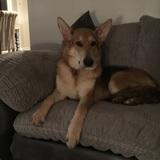 Blu (German Shepherd Dog)