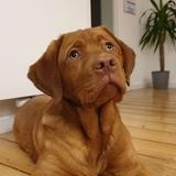 Holly (Labrador Retriever)