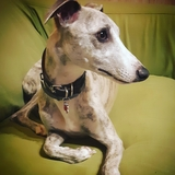 Asia - Whippet