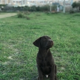 Milo - Labrador Retriever