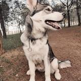 Sia - Husky Siberiano