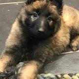 Macie (German Shepherd Dog)