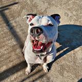 Mia  (American Staffordshire Terrier)