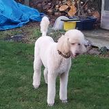 Roan (Giant Poodle)