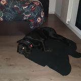 Max - Labrador Retriever
