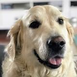 Marley (Golden Retriever)