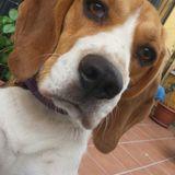 Arya (Beagle)
