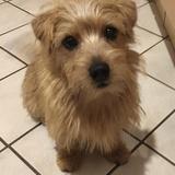Emmi (Norfolk Terrier)