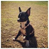 Koka  (Chihuahua)