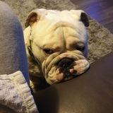 Rocco  (English Bulldog)