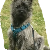 Barney (Cairn Terrier)