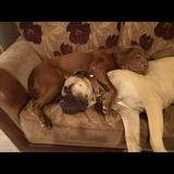 Rocco And Rolo (Bullmastiff)