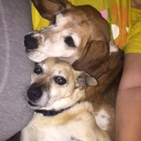 Marcie  (Beagle)