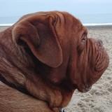 Frank (French Mastiff)