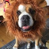 Elvis (English Bulldog)
