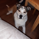 Tyson (American Staffordshire Terrier)