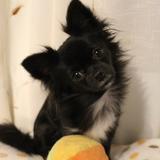 Cuki (Chihuahua)