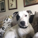 Coda (American Staffordshire Terrier)