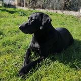 Hera - Labrador Retriever