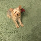 Leon - Yorkshire Terrier
