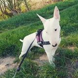 Mia (Miniature Bull Terrier)