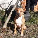 Khan (American Staffordshire Terrier)