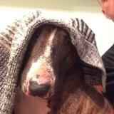 Kush (Bull Terrier)