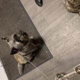 Malte (Cairn Terrier)