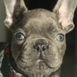 Toreaux (French Bulldog)