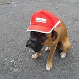 Koda (Boxer)