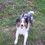 Bran (Australian Shepherd)