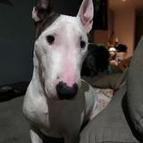Isco (Bull Terrier)