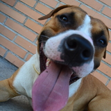 Horus (American Staffordshire Terrier)