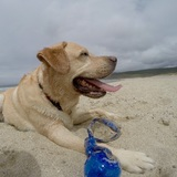 Yago - Labrador Retriever