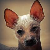 Theo (Mexikanischer Nackthund)