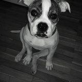 Hope (Amerikanische Bulldogge)