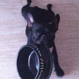 Zoe (Bulldog Francés)