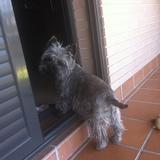 Tato - Cairn Terrier