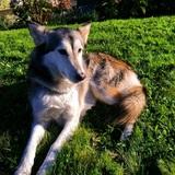 Kira (Husky Siberiano)